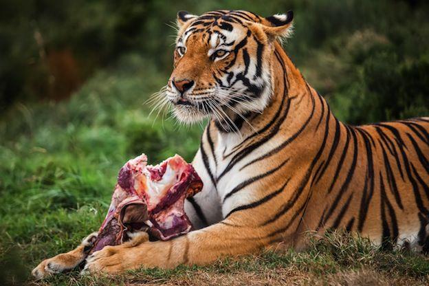 wild animals that eat meat