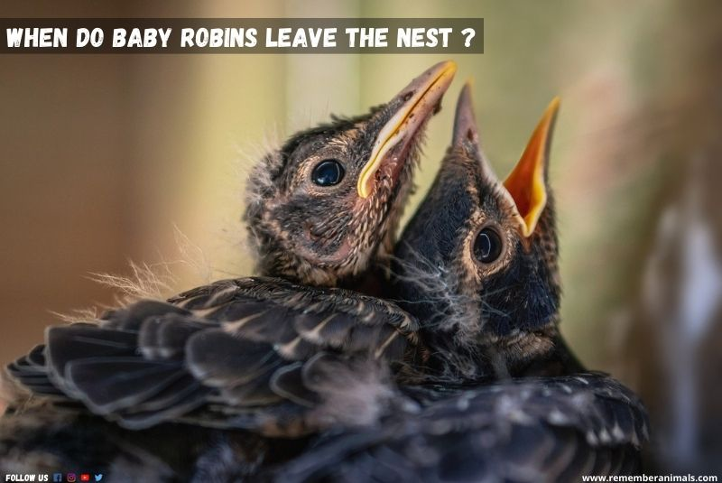 what do baby robins eat?
