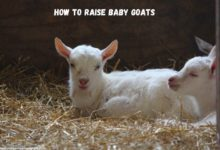 Raising a Baby Goat