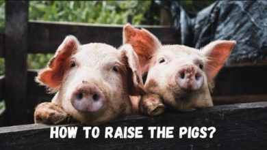 how to raise the pigs?