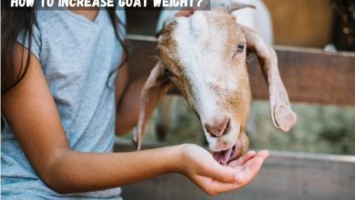 how to increase goat weight?