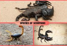 species of scorpions