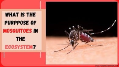 The purpose of mosquitoes in nature