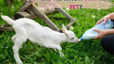 having a goat as a pet