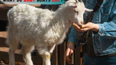 baby goat diet