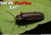 What Do FireFlies Eat?